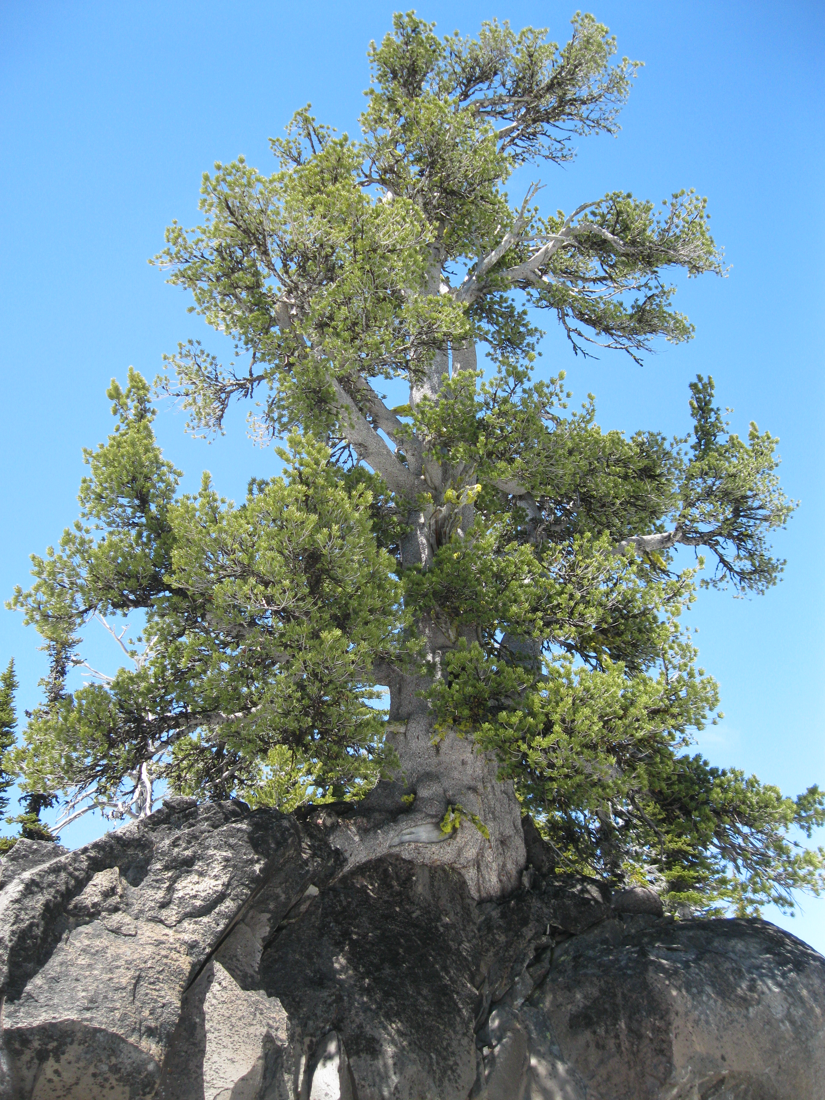 An ancient whitebark pine growing on the slopes of Mount Adams on Gifford Pinchot National Forest is a member of one of the tree species the Forest Service runs genetic conservation-rust resistance programs for.