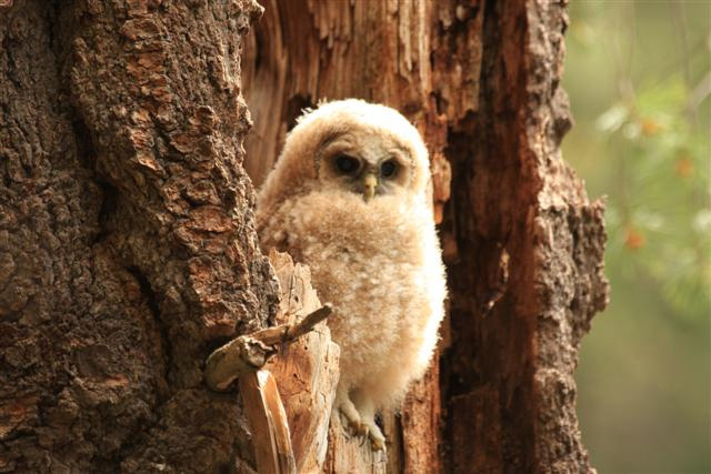 Photo: A fledgling owl perches in a tree.