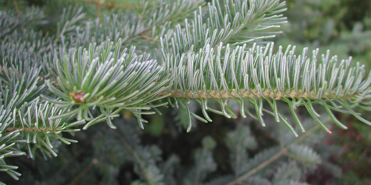 A close-up photo of pine needles