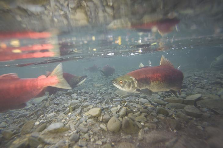 A picture of salmon underwater swimming in a creek.