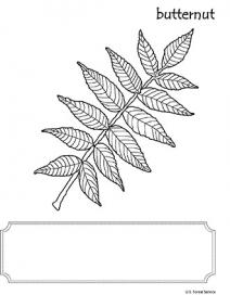 An illustration of Butternut leaf