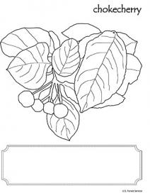 An illustration of Chokecherry leaf