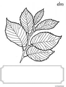 An illustration of an Elm leaf