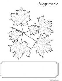 An illustration of Sugar Maple leaf