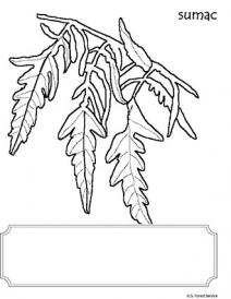 An illustration of a Sumac leaf