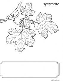 An illustration of a Sycamore leaf
