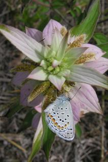Karner Blue Butterfly on Dotted Horsemint on the Huron-Manistee National Forest. Photo credit: U.S. Forest Service