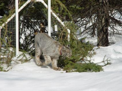 A Canada Lynx being released from a cage after being tagged with a GPS tracking device.