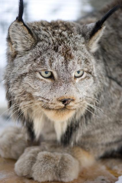 A closeup picture of a Canada Lynx