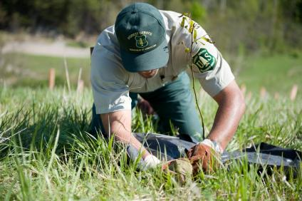 A picture of a Forest Service employee planting a American Chestnut seedling.