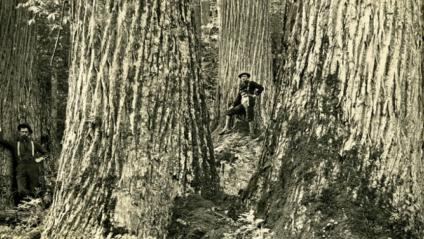 A historical picture showing two men standing next to two very large American Chestnut trees at their base.