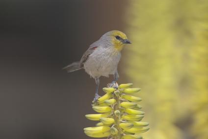 A picture of a desert bird, the verdin, from the Phoenix, Arizona area.