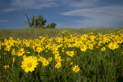 A picture of bright yellow wildflowers in the Beaverhead-Deerlodge National Forest.