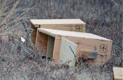 A sharp-tailed grouse standing outside 1 of 2 cature boxes with USDA Forest Service logos stamped on them