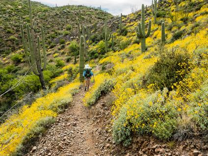 Desert trail, yellow flowers, and saguaro cactus