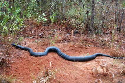 Big indigo snake; non-poisonous