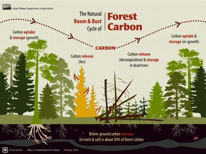 An Infographic showing the Natural Boom & Bust Cycle of Forest Carbon.