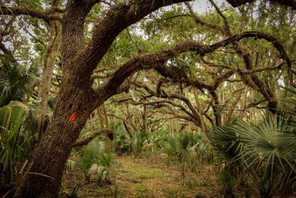 Florida National Trail live oaks and palmettos