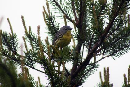 Female Kirtland warbler perched on a tree branch