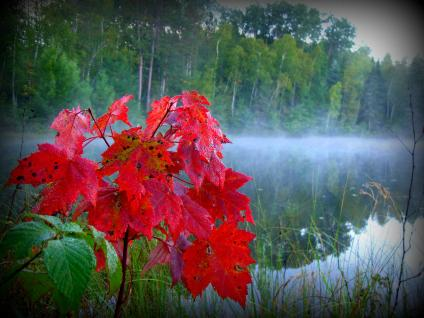 Colorful red maple leaves, a misty lake in the background