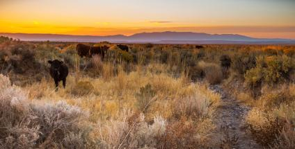 A picture showing several cattle grazing at sunset on public lands in Malheur County, Oregon, the Steens Mountains are in the distance.