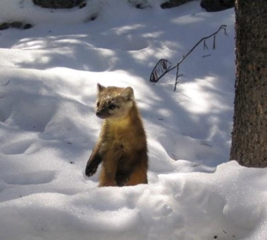 American Marten in the snow