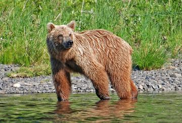 A picture of a brown bear standing on the side of a river.