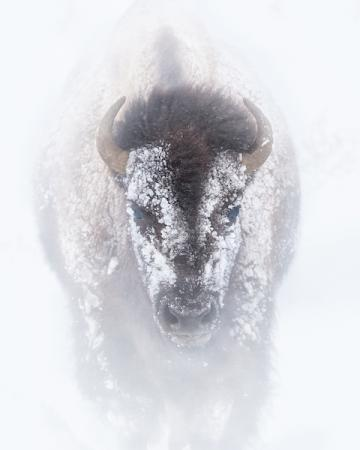 A picture of a bison covered in snow facing towards the front.