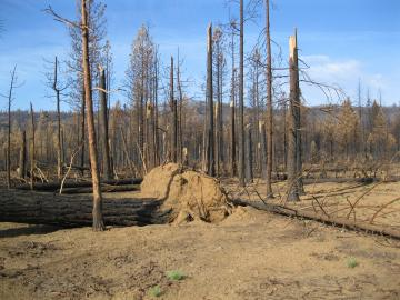 A picture of standing deadwood left from the Eiler Fire of 2014.