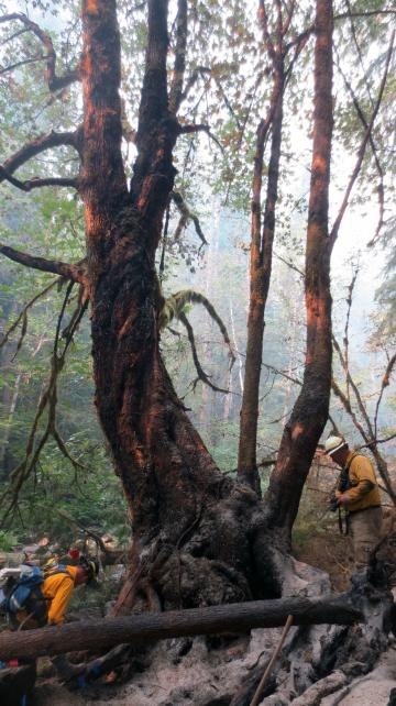 Burned tree, Forest Service workers checking the damage of the fire