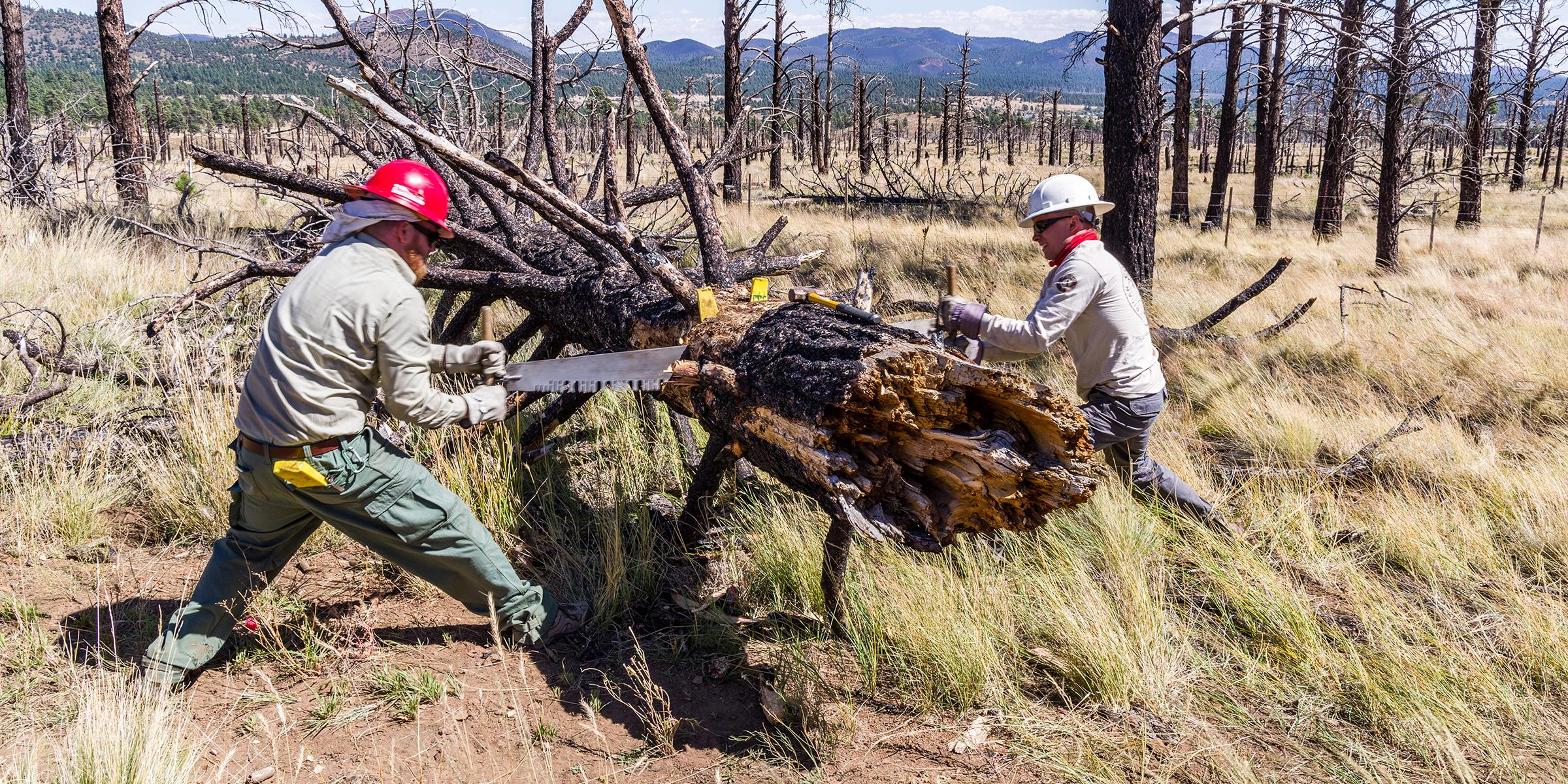 A picture of two workers using a band saw to cut a downed tree.