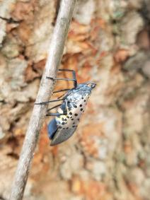 A male spotted lanternfly sitting on a maple twig.