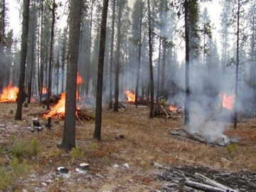 A photo of A thinned forest either done by prescribed fire or mechanical treatments.