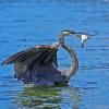 Crane Eating Fish