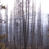 Pioneer Fire Reforestation on the Boise National Forest