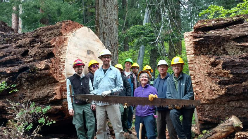 Group of men holding hand saw, standing betwwen parts of a chopped, giant tree
