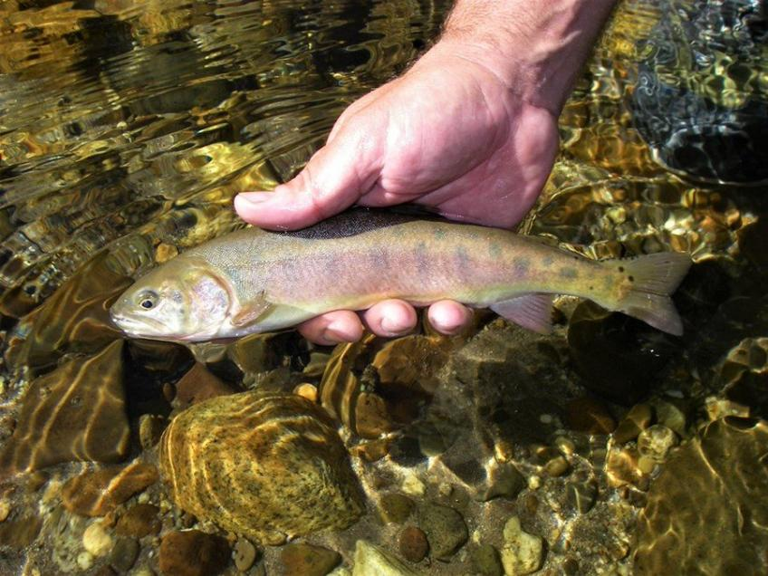 A picture of a small cutthroat trout in a person's hands.