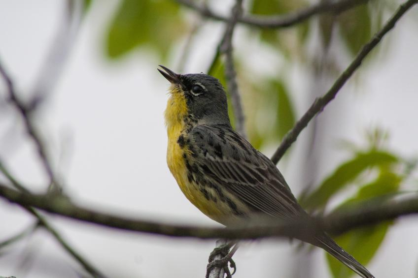 A picture of a the Kirtland's warbler balancing on a small tree limb.
