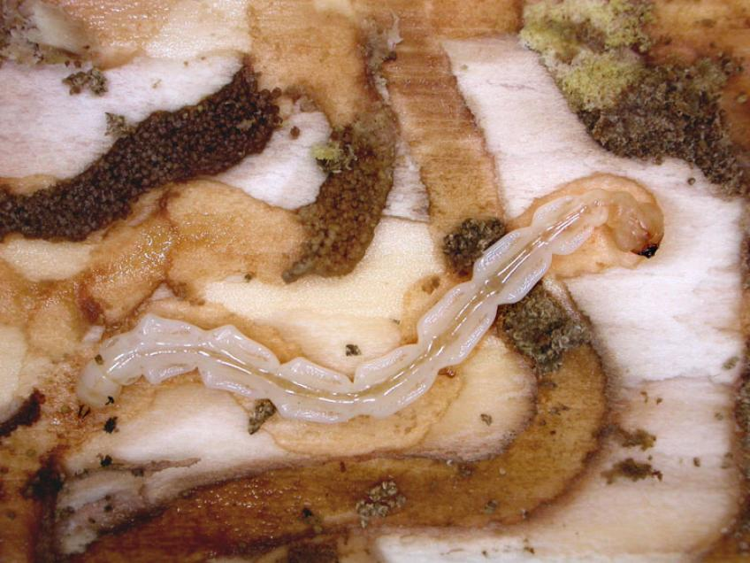 A picture of Emerald ash borer larvae