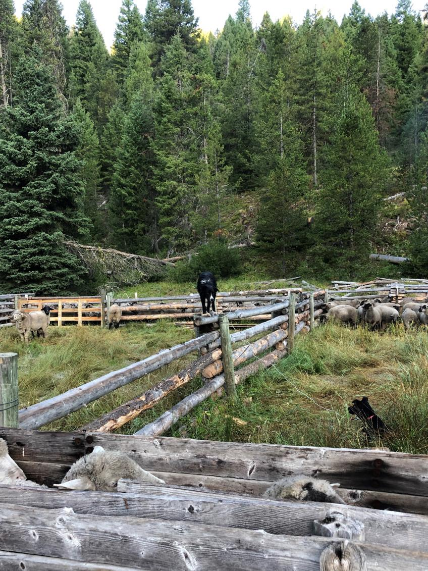 A picture of a couple dogs, one standing on a wooden fence, overlooking sheep corralled up.