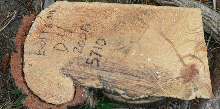 A picture of a slice from a tree, showing tree ring samples that reveal the history of fire.