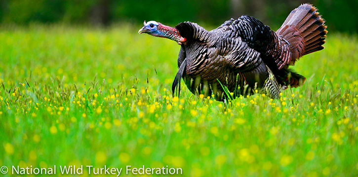 A picture of an Eastern Wild Turkey