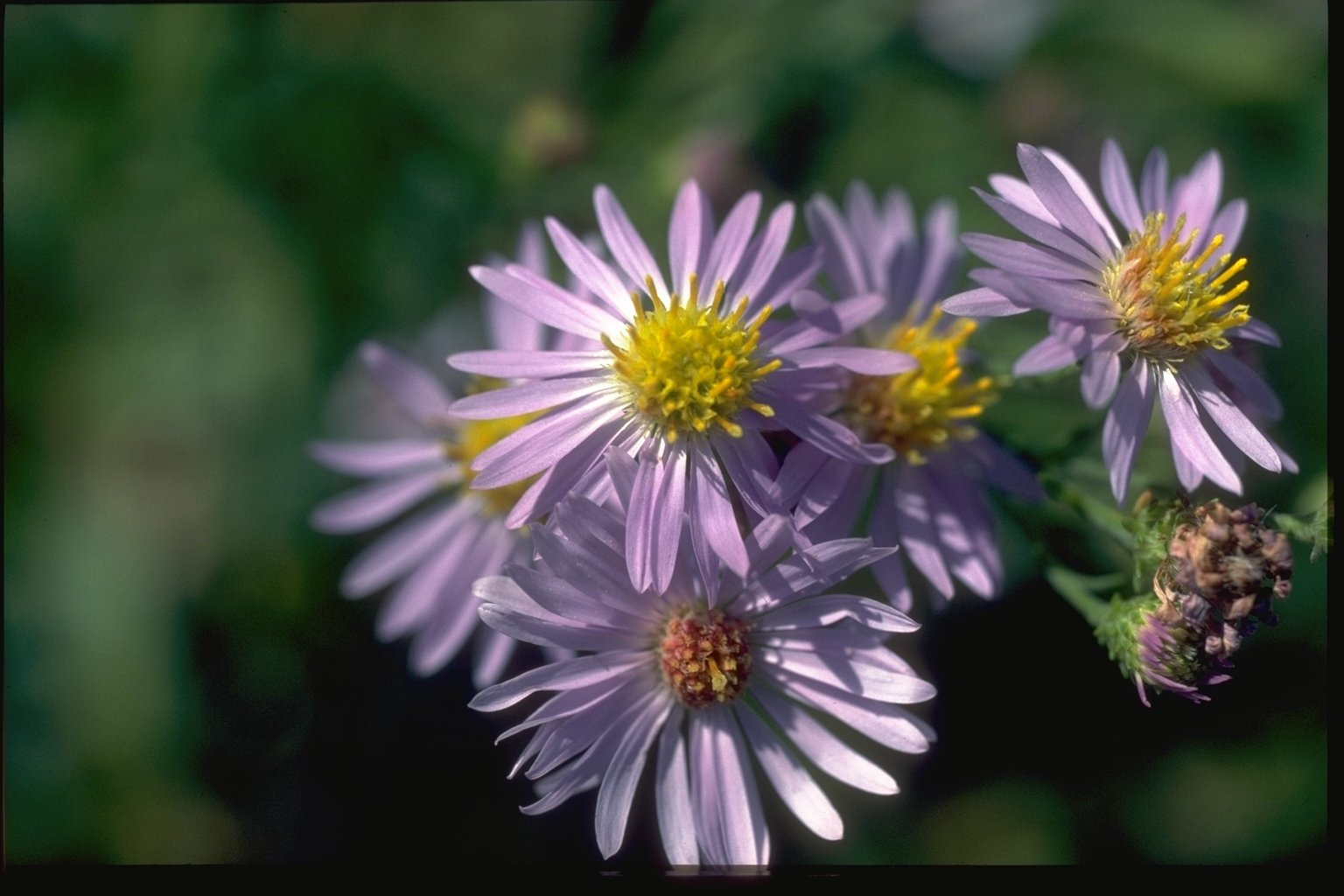 Forest Service Photo Of Purple Flowers With Yellow Centers